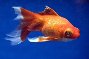 Goldfish का Scientific नाम क्या है