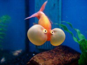Goldfish का Scientific नाम क्या है |